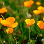 Natural Remedies for Anxiety: California Poppy