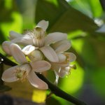 Natural Remedies for Anxiety: Orange blossom