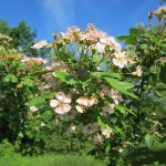 Natural Remedies for Anxiety: Hawthorn