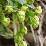 Natural Remedies for Anxiety: hop bulbs