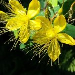 Natural Remedies for Anxiety: St. John's Wort