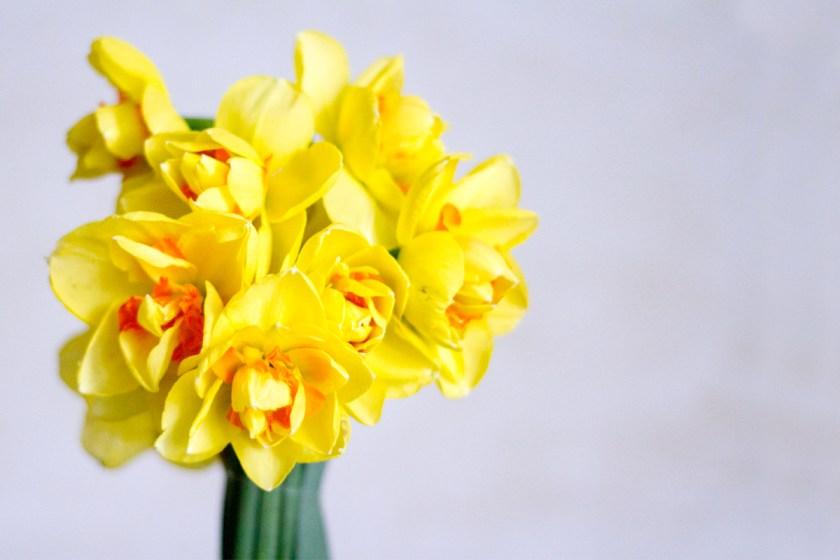 daffodil highlight