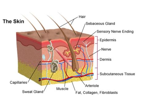 layers of skin diagram for collagen health