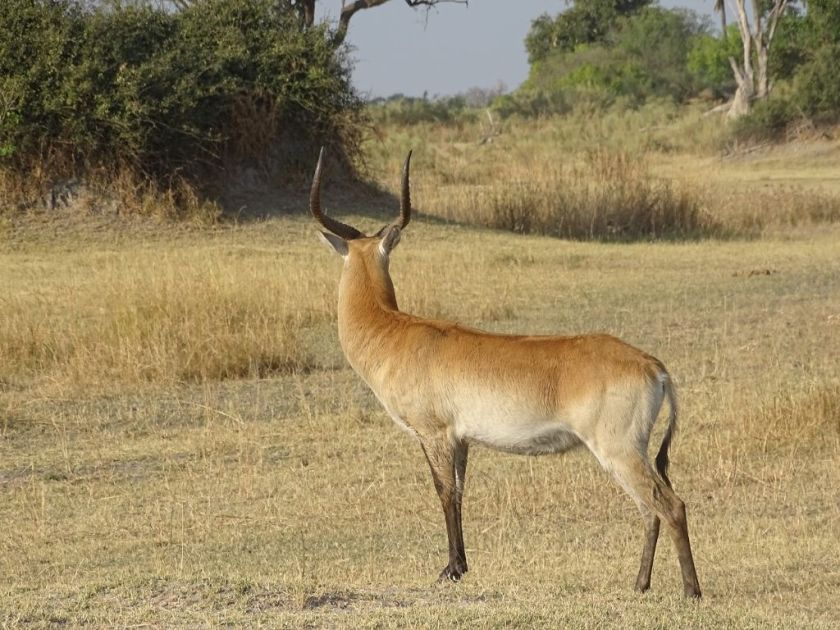 Antilope Botswana