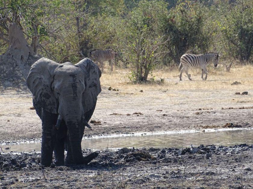 Elefant Moremi Botswana