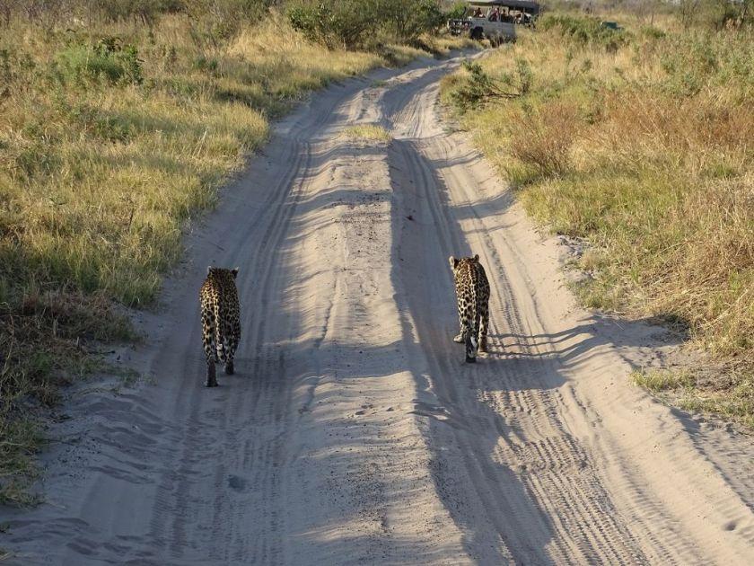 Leoparden Savuti Botswana Afrika