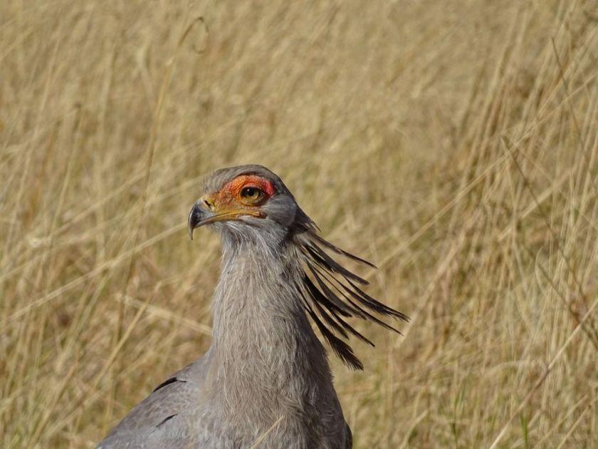 Sekretär Vogel Afrika Botswana