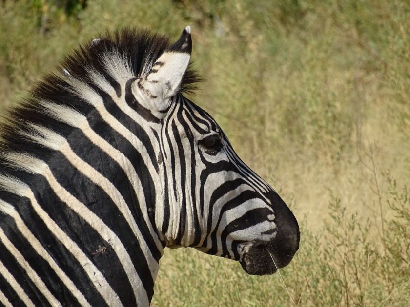 zebra savuti botswana