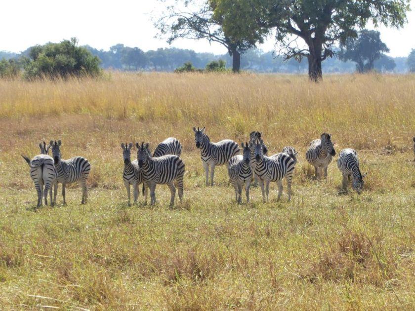 Zebras Okavango Delta