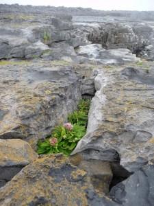 Aran Islands Inselpflanzen