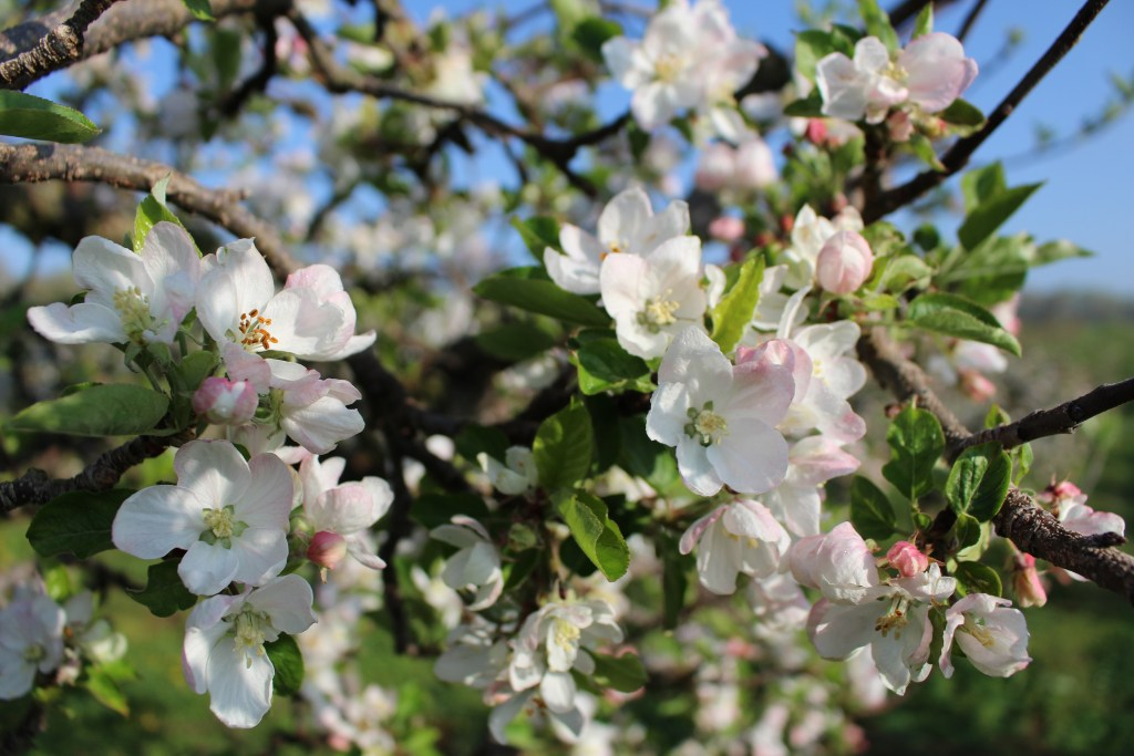 Lots of apple blossoms on an apple tree.