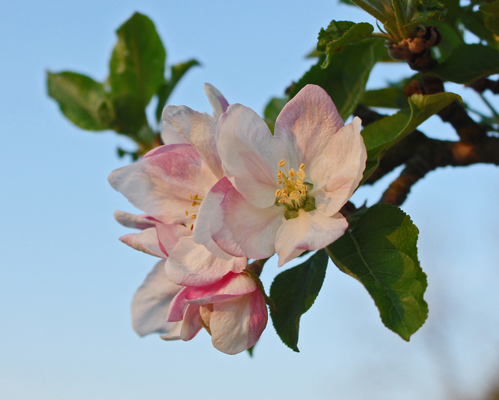 Photo of an apple blossom on a tree.