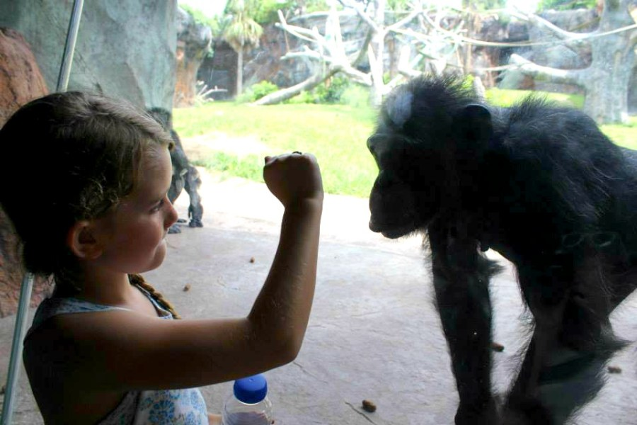 chimpanzee playing with little girl at the zoo in Houston