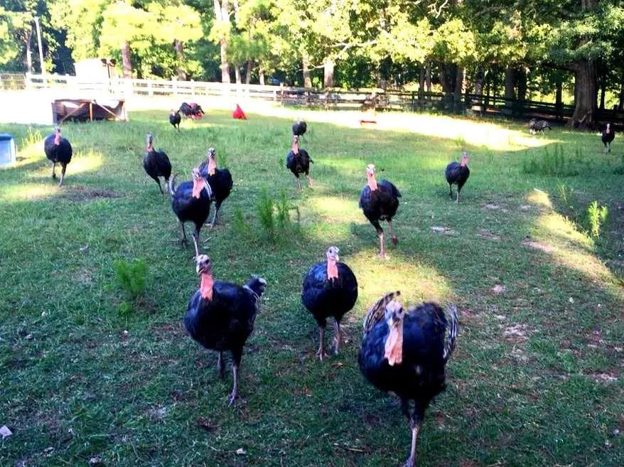 the turkeys at Gillis Hill Farm