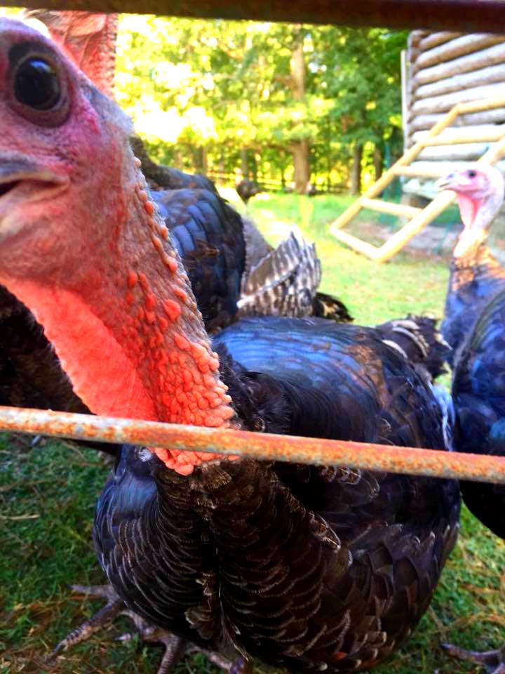 feed the turkeys at Gillis Hill Farm