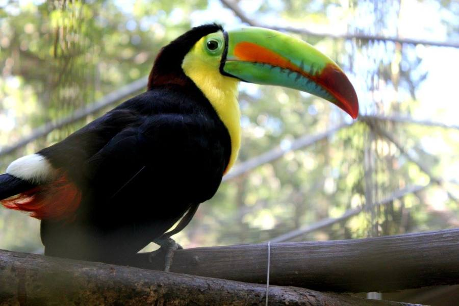 Toucan at Gumbalimba Park in Roatan, Honduras.