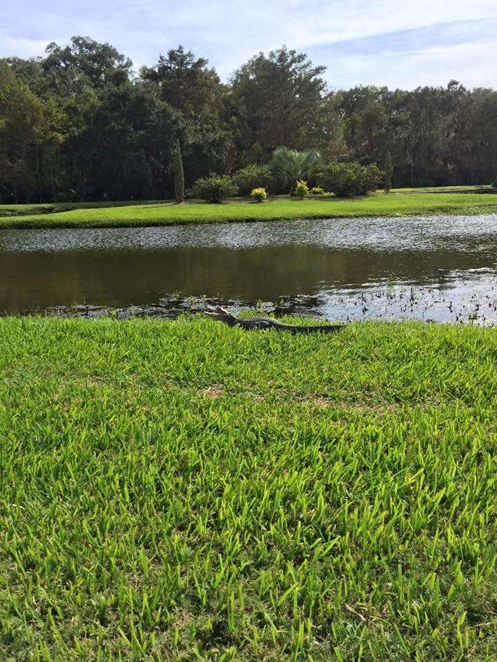 Small alligator in Jungle Gardens.