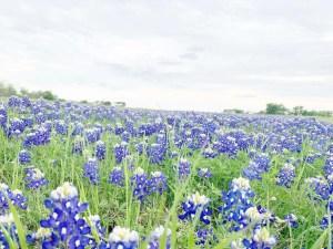 Chasing Texas bluebonnets