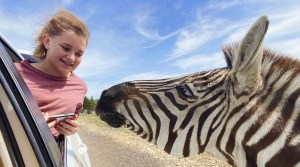 Girl feeding zebra out of car window at Topsey Exotic Zoo in Texas.