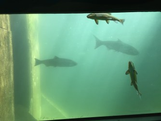 Fishies in the fish ladder