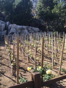 Disneyland Vineyard