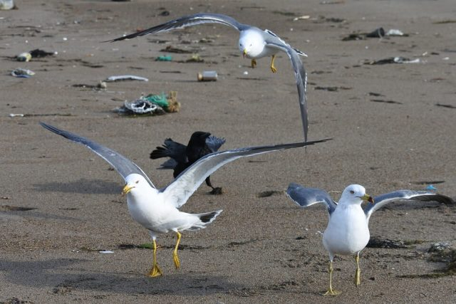 Seabirds roam among plastic