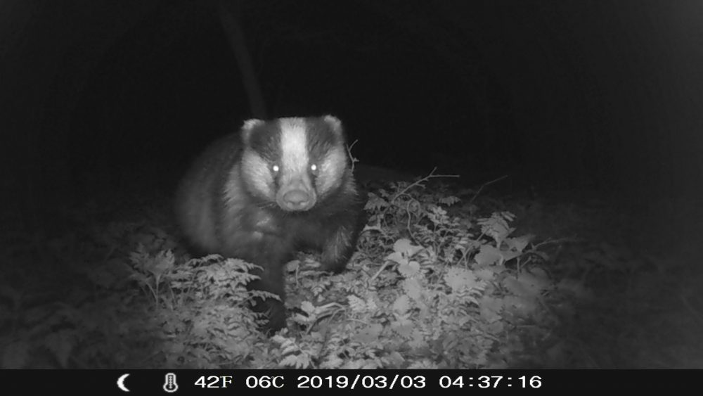 Badger watching