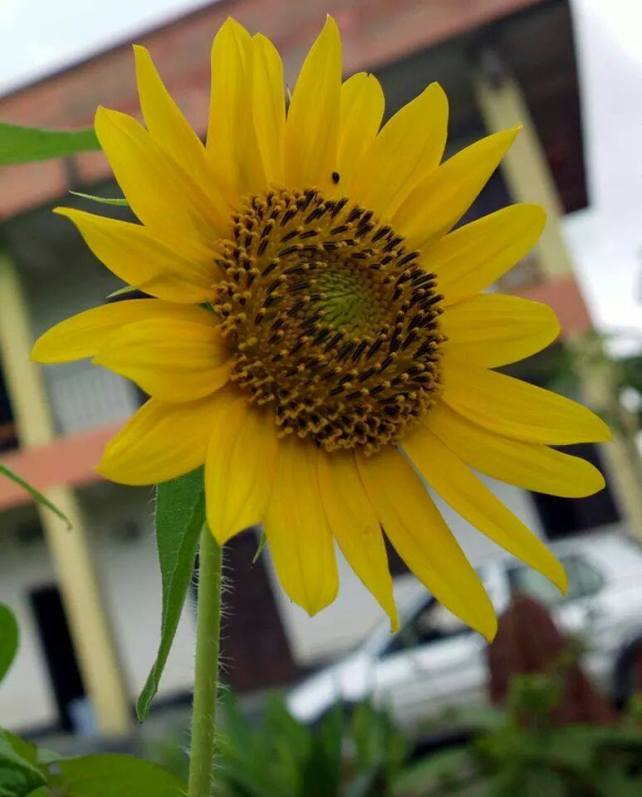 #Sunflower blooming at Lilong Higher Secondary School, #Manipur A photograph by Mahesh RK