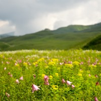 Beautiful Dzukou lily blooming at Dzukou Valley, Manipur