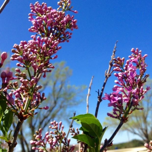 kansas lilacs