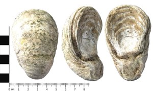 Fossilised oyster shell