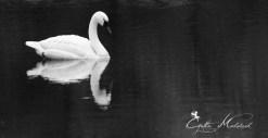 1117 The Swan