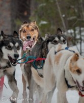 Apostle Island Sled Dog Races 2016-1918