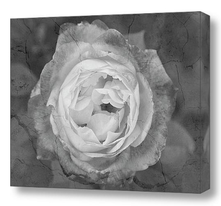 Cracked rose black and white fine art print and canvas art