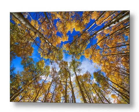 Colorful Aspen Forest Canopy Metal Art Print