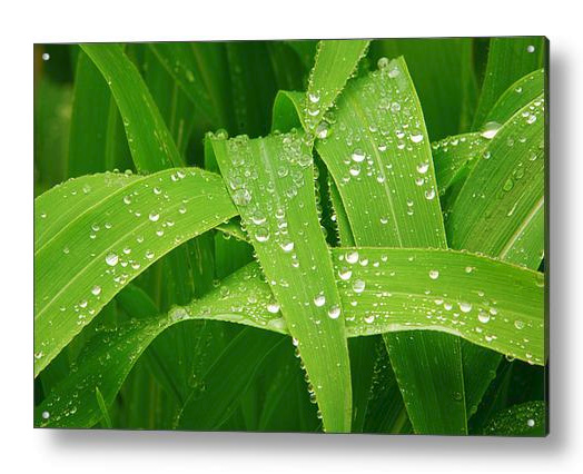 Corn Leaves After The Rain Acrylic Print