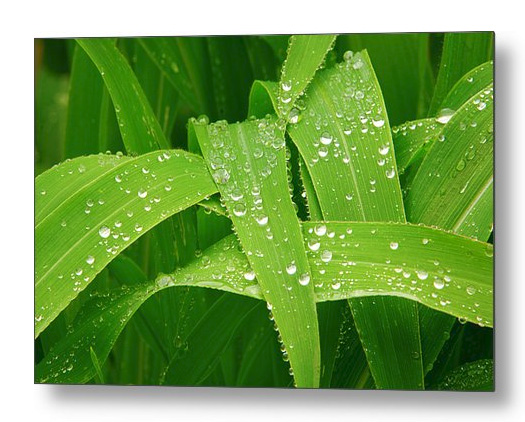 Corn Leaves After The Rain Metal Print