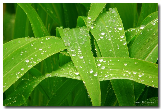 Corn Leaves After the Rain Art Print