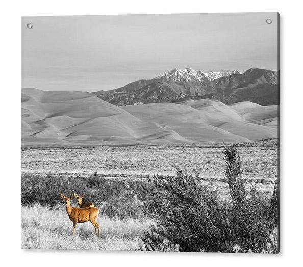 Great Colorado Sand Dunes Deer Acrylic Print