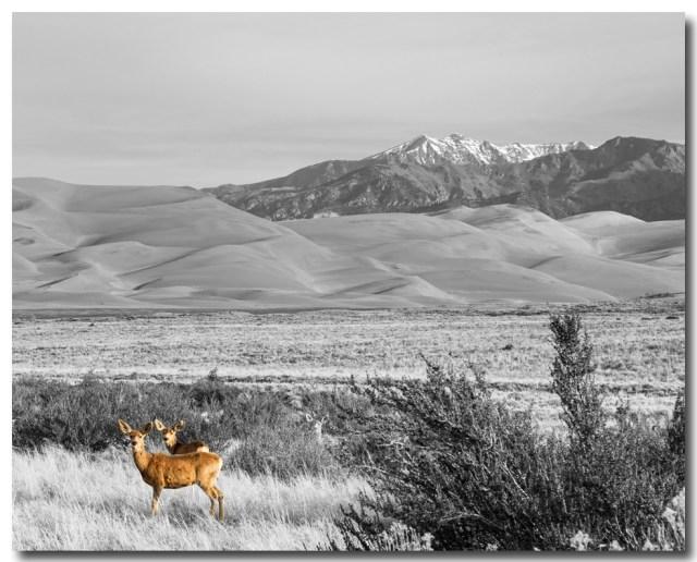 Great Colorado Sand Dunes Deer