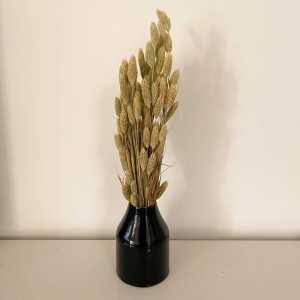 צמח פלאריס הולנדי טבעי