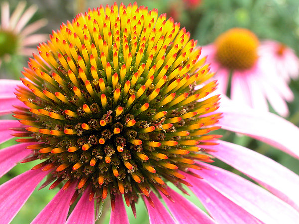 Echinacea - Purple Cone Flower