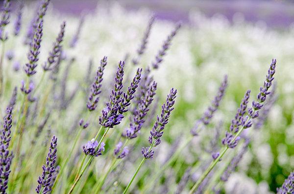 Lavender at Prince Edward County Lavender Farm near Hillier, Ontario.