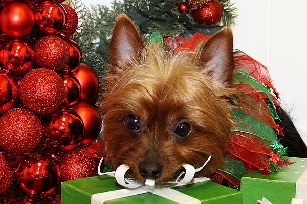 Christmas Portraits Yorkshire Terrier Photograph By
