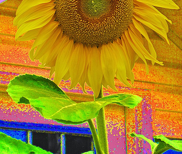 Sunflower Photograph Happiness By Shauna Obrien