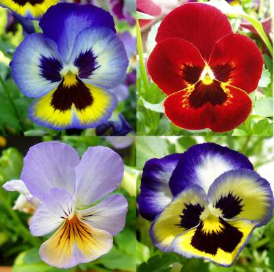 https://i1.wp.com/fineartamerica.com/images/contestlogos/logo1-beautiful-pansies.jpg
