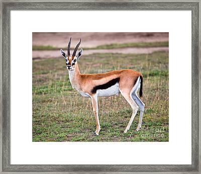 Thomson's Gazelle On Savanna In Africa Photograph by ...