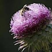 Bee On Thistle Art Print