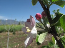 Apple blossom in a field