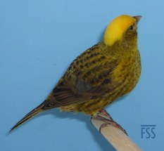 Clear cap gold male Lizard canary